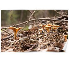 Chanterelles in the wood Poster