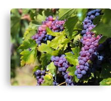 Grapes of Tuscany Canvas Print