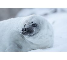 Portrait of a Grey Seal Pup Photographic Print