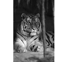 The Jungle's Ruler Photographic Print