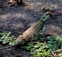 Blue Throated Agama  -  Southern Serengeti Tanzania by john  Lenagan