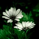 White Flowers by davesphotographics