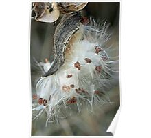 Gaining Independence - Milkweed Seeds - Asclepias syriaca Poster