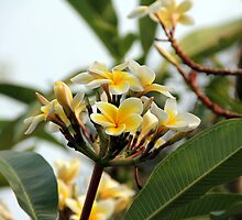 yellow frangipani by guest030983