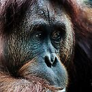 Orang-utan contemplation by Darren Bailey LRPS