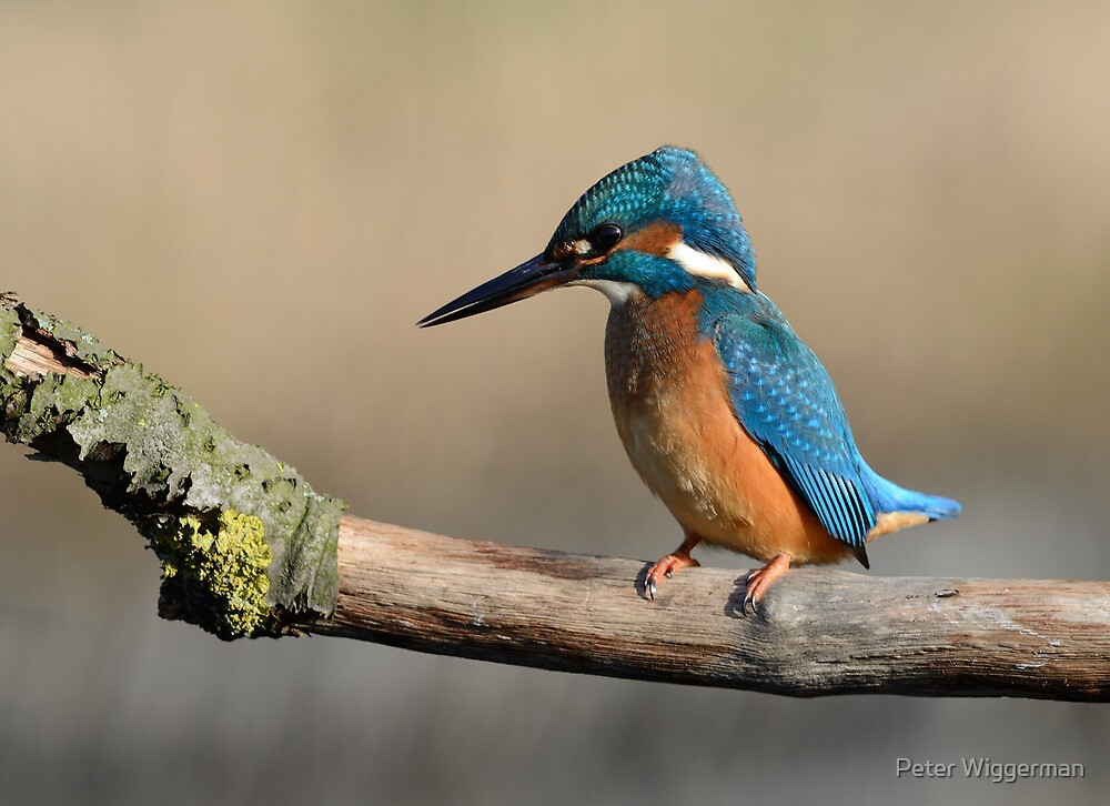 Kingfisher - V by Peter Wiggerman