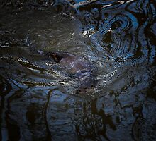 Otter - Melting in Reflections by AndyV