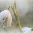 Faded Snowdrop by Astrid Ewing Photography