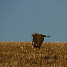 Common Buzzard by Jon Lees