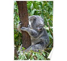 Sleepy Koala Poster