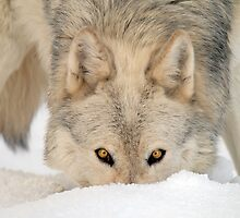 Grey Wolf by Trevor Russell