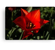 Brilliant Spring Sunshine in Red Canvas Print