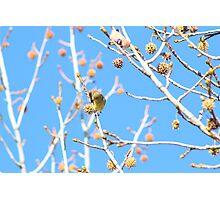 Precious Yellow Finch Photographic Print