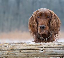 Irish Setter by (Tallow) Dave  Van de Laar