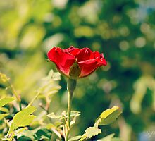 I give to my love one red rose by Scott Mitchell