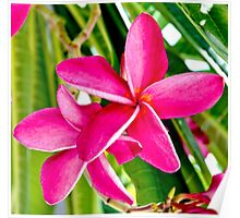 Tropical Pink Plumeria Flower Blooms Poster