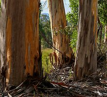 Stringy-Bark Gum Trees. by Graeme Bayley