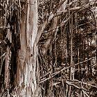 Australian Stringy Bark Tree. by Graeme Bayley