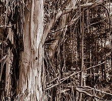 Australian Stringy Bark Tree. by Graeme Bayley