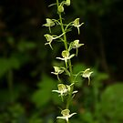 The surprising beauty of Greater Butterfly-orchid by steppeland