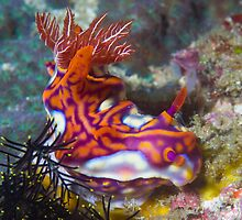 Magnificent Nudibranch by Mark Rosenstein