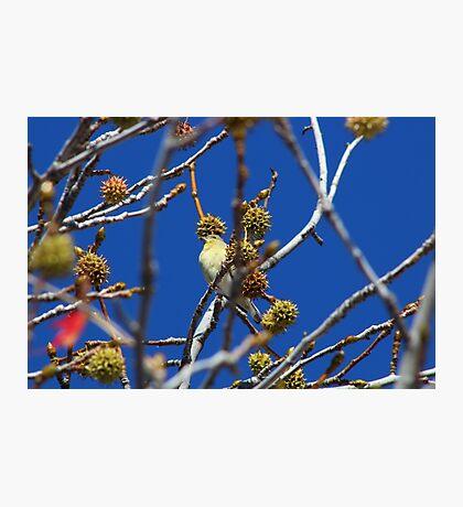 Precious Finch Photographic Print