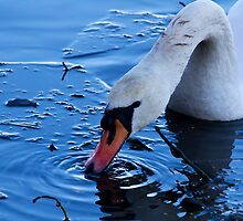 Mute Swan in ice by Violaman