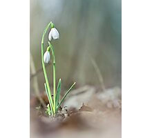 Sneaky snowdrops... Photographic Print