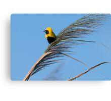 Golden Bishop bird Canvas Print