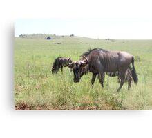 Wildebeest in South Africa Metal Print