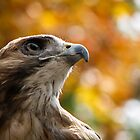 Bailey the Red-tailed Hawk by David Orr
