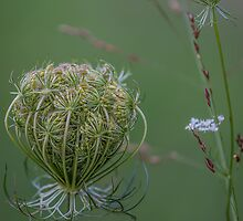 Queen Anne's lace by Leon Herbert