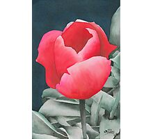 Single Tulip Photographic Print