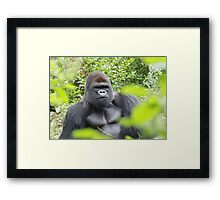 Silver Back Gorilla Framed Print