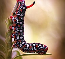 Spurge Hawk-moth caterpillar by jimmy hoffman
