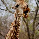 HOW MUCH LONGER MUST I HOLD MY  TUNG !!! -GIRAFFE – Giraffa Camelopardalis (KAMEELPERD) by Magriet Meintjes