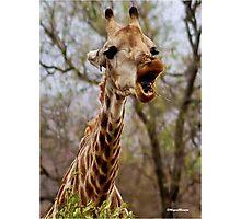 HOW MUCH LONGER MUST I HOLD MY  TUNG !!! -GIRAFFE – Giraffa Camelopardalis (KAMEELPERD) Photographic Print