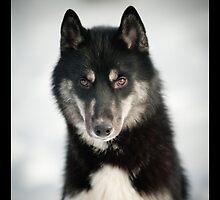 husky portrait by marusya1