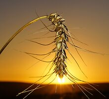 Sunset Wheat by Anton Alberts
