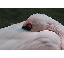 Sleeping Flamingo Photographic Print