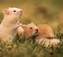 Golden hamster with her young litter on the lawn by PhotoStock-Isra