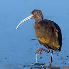 White-faced Ibis by Floyd Hopper
