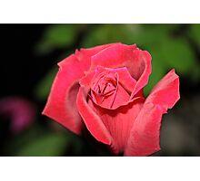 Rose in Garden Photographic Print