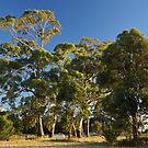 Sidelit gum trees at South Arm - Tasmania, Australia by PC1134
