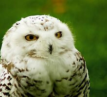 Snowy Owl - a penny for your thoughts by steppeland