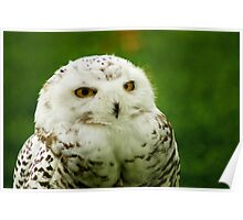Snowy Owl - a penny for your thoughts Poster