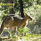 Large Kangaroo at Hall's Gap, The Grampians National Park. vic.  by EdsMum