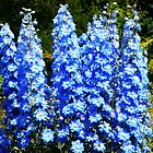 Spikes of Beautiful Blue Delphiniums  by hootonles