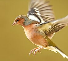 Chaffinch in Flight by Mark Hughes