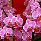 Beautiful pink by Arie Koene